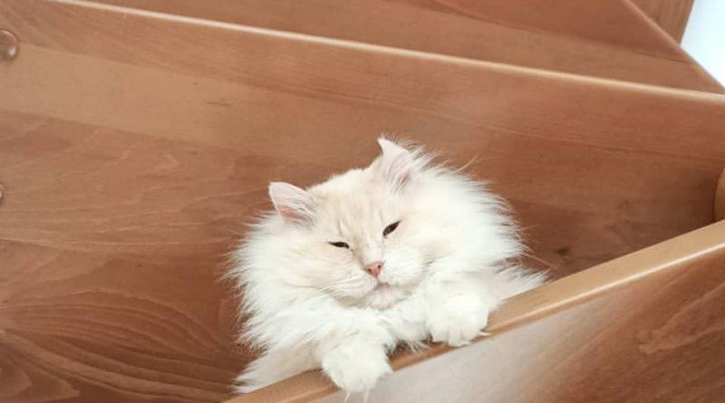 fiv gatti