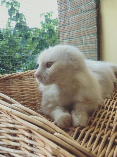 Foto di profilo di Mozzarella: gatto bianco a pelo lungo, senza orecchio, dallo sguardo bellissimo.