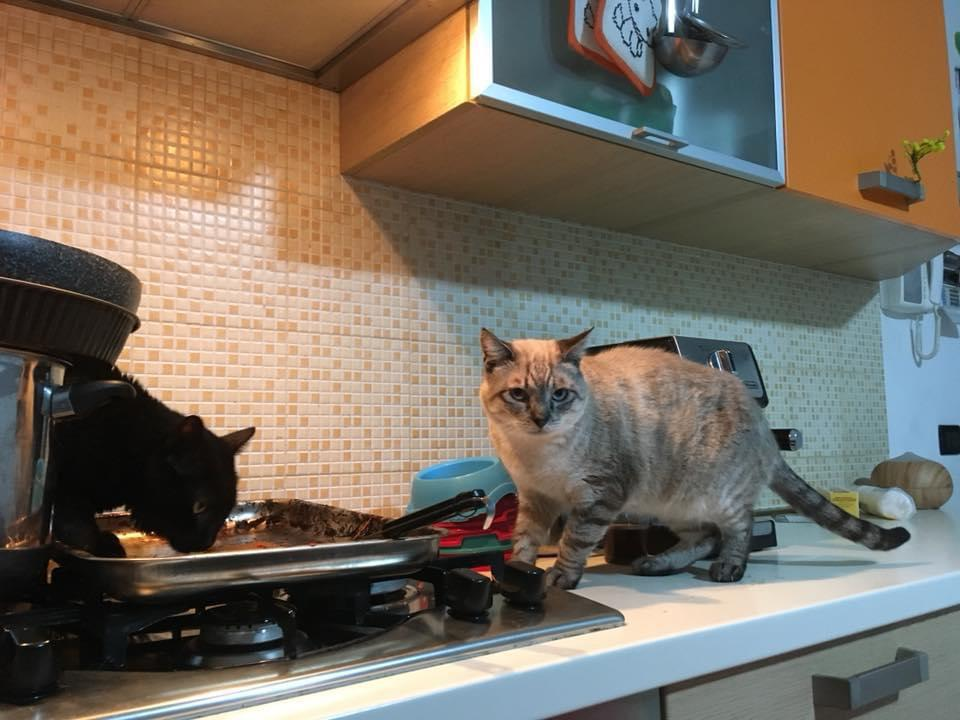 fiv felv gatti