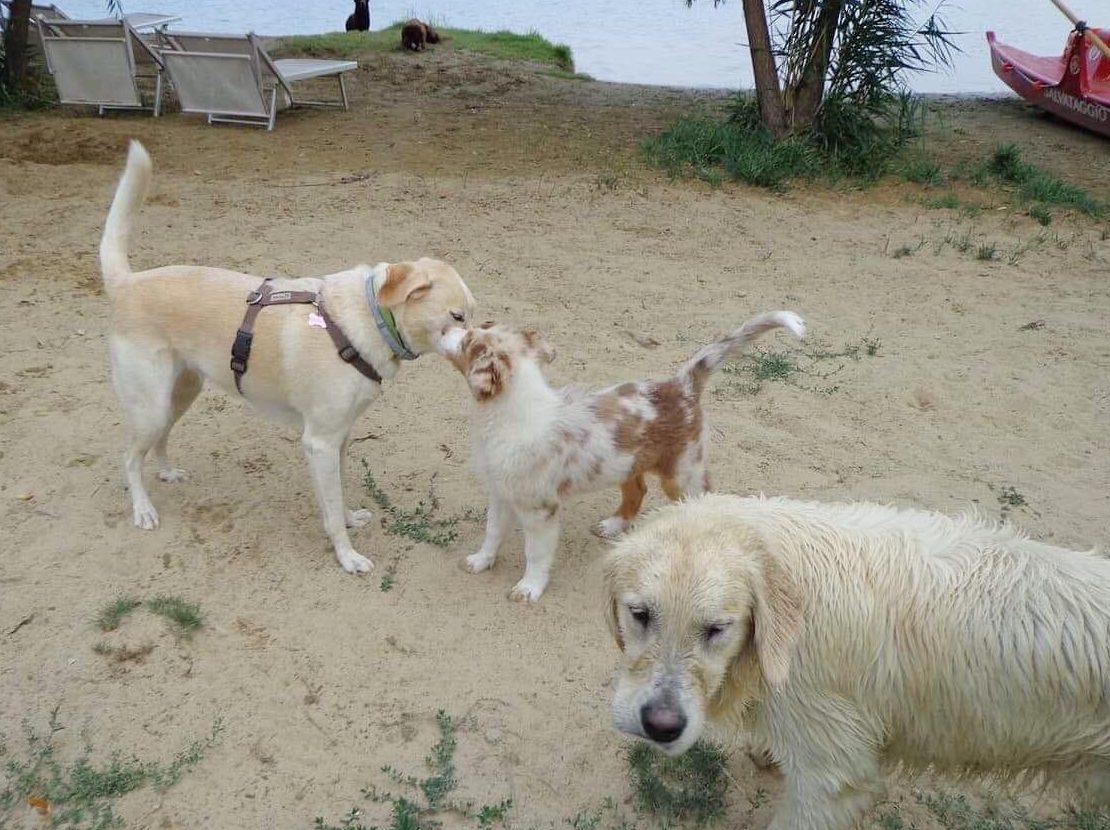 cane giallo sud pastore maremmano