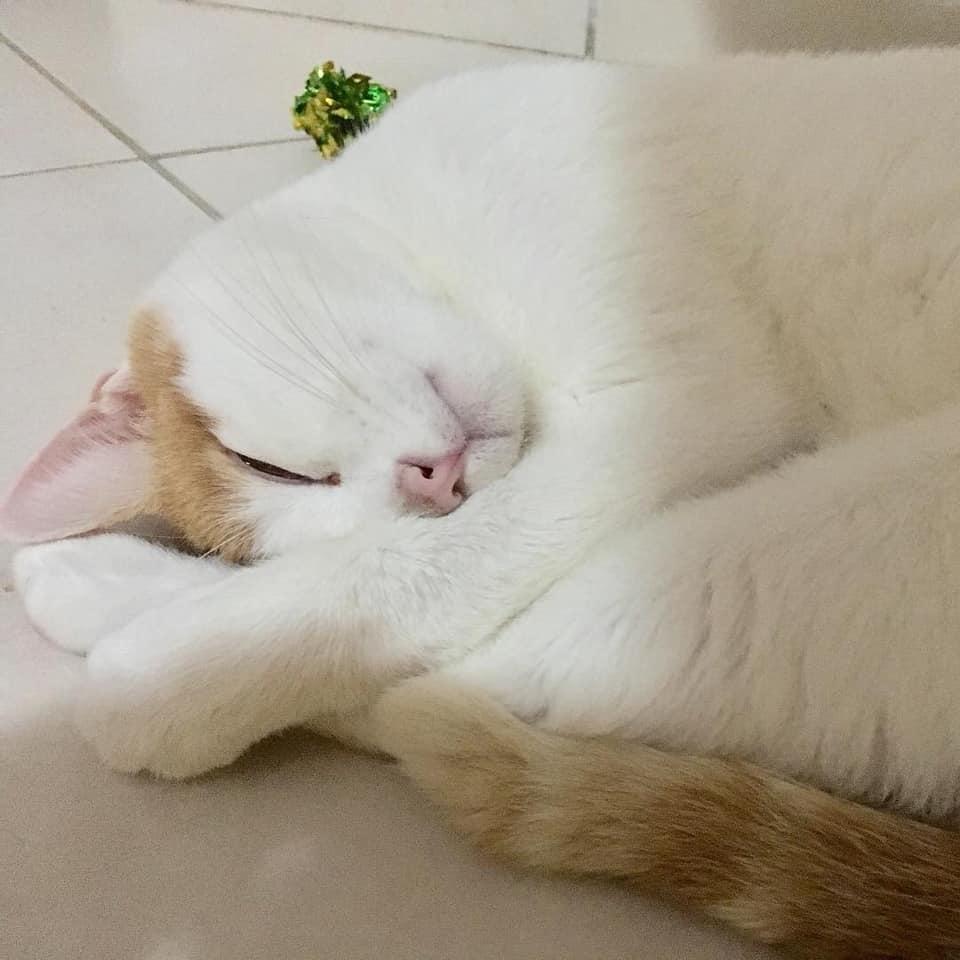 Foto di Angelino: gatto bianco con orecchie e coda rossa.