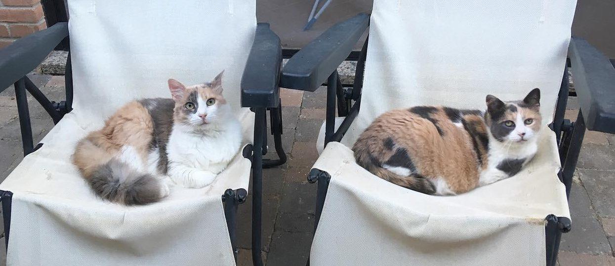 gatte tricolore carattere calicò tartarugate